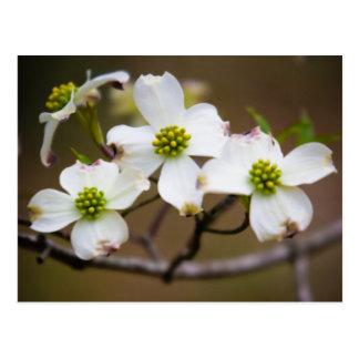 Dogwood na flor cartão postal