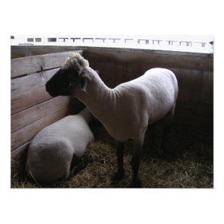 Dois carneiros em uma tenda com feno impressão de foto