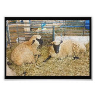 Dois carneiros enfrentados pretos em um celeiro fotografia