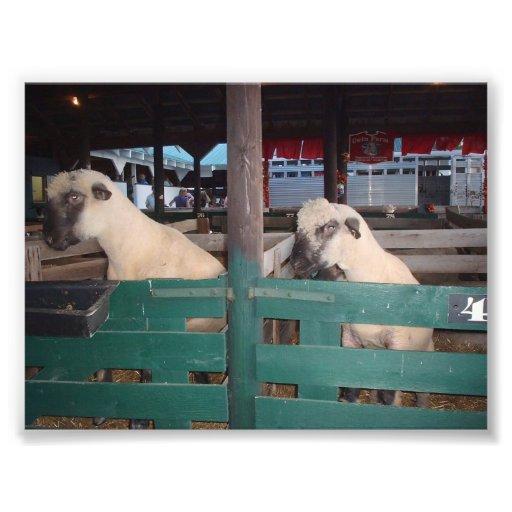 Dois carneiros que espreitam sobre uma cerca foto arte