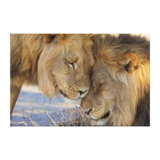 Dois leões que friccionam-se impressão em tela