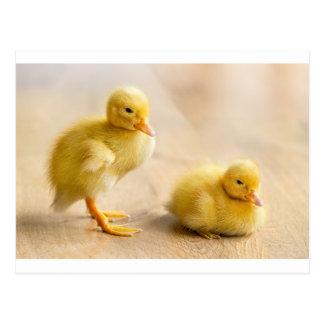 Dois patinhos amarelos recém-nascidos no assoalho cartão postal