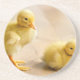 Dois patinhos amarelos recém-nascidos no assoalho porta-copos de arenito