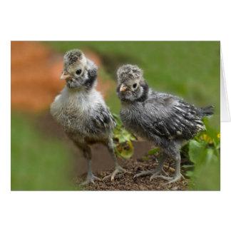 Dois pintinhos poloneses - galinhas bonitos do cartão comemorativo