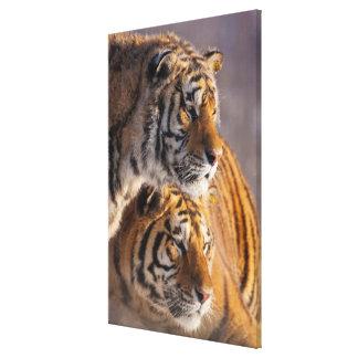 Dois tigres Siberian junto, China Impressão Em Tela
