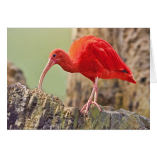 Dos íbis escarlate da nota ou o cartão do pássaro