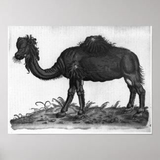 Dromedary, 'de Historial Animalium Poster