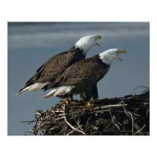 Duas águias americanas que gritam impressão de foto