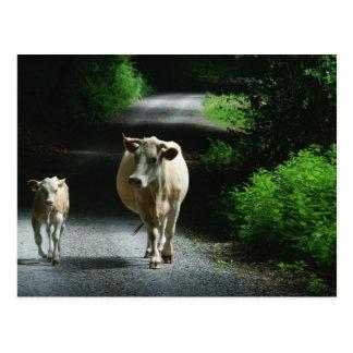 Duas vacas no cartão de Bummel
