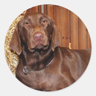 Dutchess - chocolate Labrador - Photo-13 Adesivo