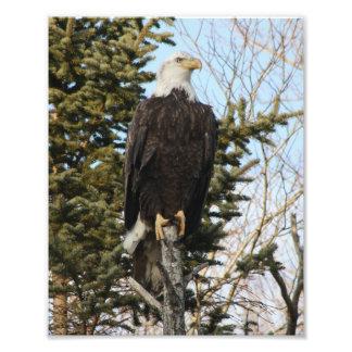 Eagle 3 impressão de foto