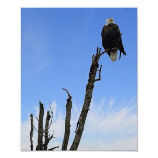 Eagle em uma árvore impressão de foto