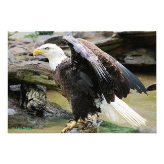 Eagle que espalha as asas impressão de foto
