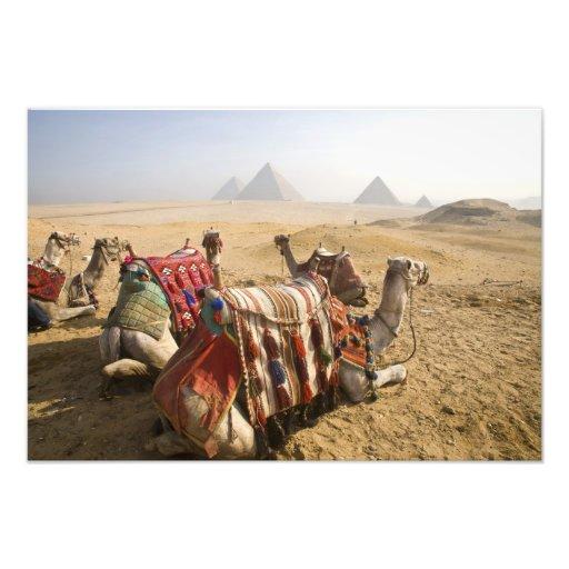 Egipto, o Cairo. Olhar de descanso dos camelos atr Impressão De Foto