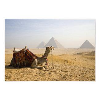 Egipto, o Cairo. Um camelo solitário olha através  Foto Arte