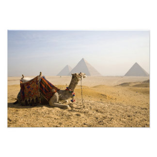 Egipto, o Cairo. Um camelo solitário olha através  Impressão De Fotos