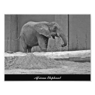 Elefante africano que come a foto impressão de foto