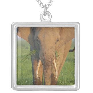 Elefante indiano que alimenta, parque nacional de colar com pendente quadrado