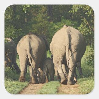 Elefantes indianos na trilha da selva, Corbett Adesivo Quadrado