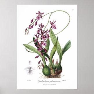 Epidendrum Phœniceum. Pôster