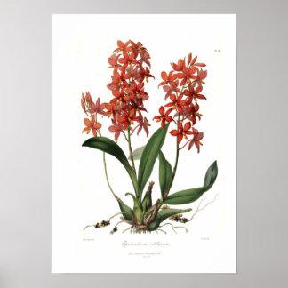 Epidendrum Vitellinum Pôster