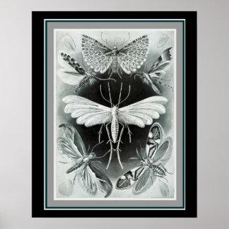 "Ernst Haeckel 16 x 20 impressão ""Tineida """