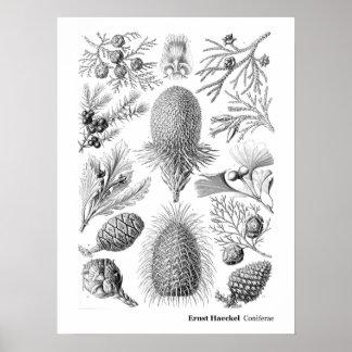 Ernst Haeckel Coniferae preto e branco Pôster