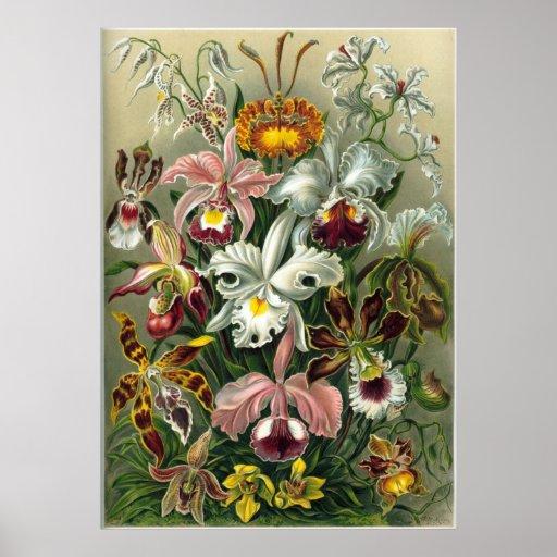 Ernst Haeckel Orchidae Poster