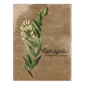 Erva da flor do astrágalo do estilo do vintage cartão postal