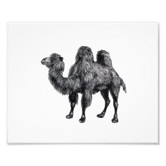 Esboço do camelo da corcunda do vintage dois impressão fotográfica