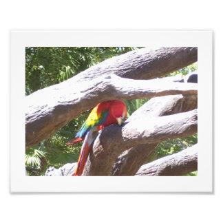 Escarlate do Macaw Impressão De Foto