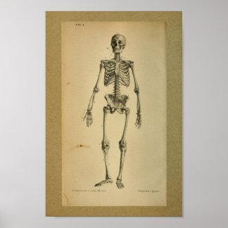 Esqueleto 1850 do impressão da anatomia do vintage