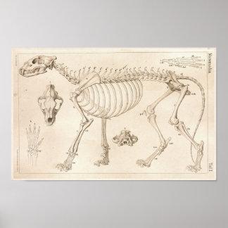 Esqueleto do impressão veterinário da anatomia do