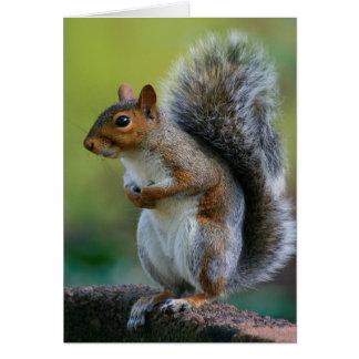 """Esquilo cinzento """"barriga Itchy."""" cartão 5x7"""