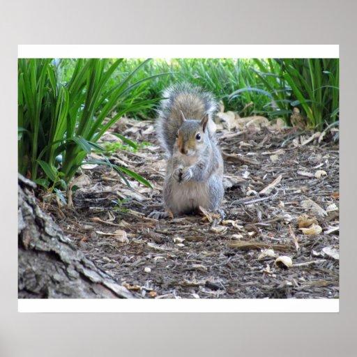 Esquilo com fome pôsteres