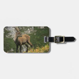 Etiqueta De Bagagem Íbex selvagem alpino, da cabra, ou steinbock