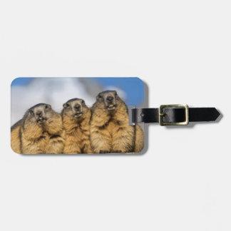 Etiqueta De Bagagem Marmota alpinas