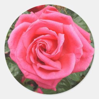 Etiqueta do rosa do rosa