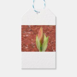 Etiqueta Para Presente 102a o Amaryllis Apple floresce botão