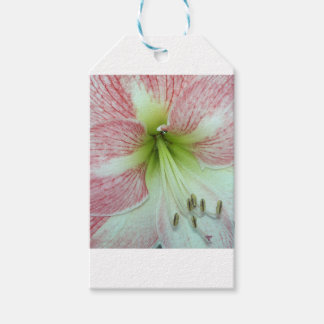 Etiqueta Para Presente 104a o Amaryllis Apple floresce 2 abertos