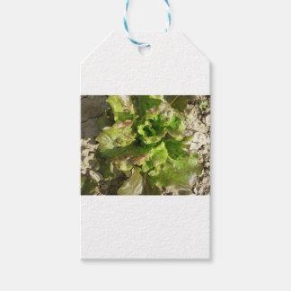 Etiqueta Para Presente Alface fresca que cresce no campo. Toscânia,