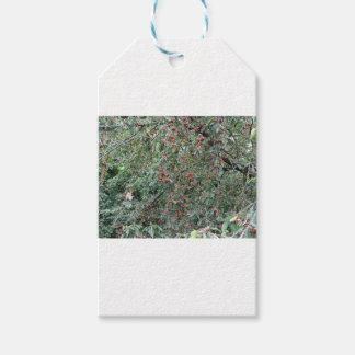 Etiqueta Para Presente Cerejas vermelhas na árvore no pomar de cereja