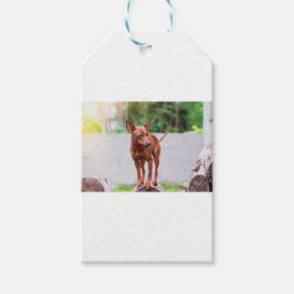 Etiqueta Para Presente Retrato do cão vermelho do pinscher diminuto