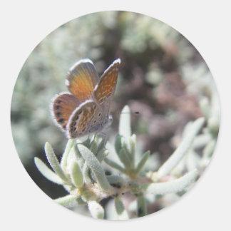 Etiquetas azuis da borboleta do pigmeu ocidental