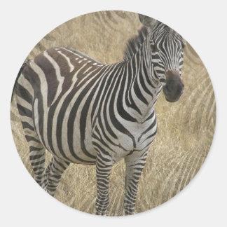 Etiquetas listradas da zebra adesivos redondos