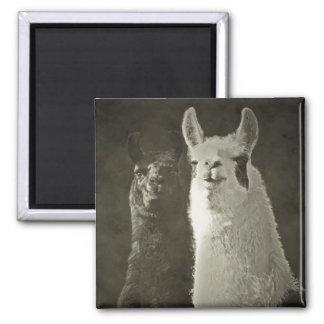 Eu amo alpacas! ímã quadrado