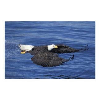EUA Alaska águia americana da península de Kenai Arte De Fotos