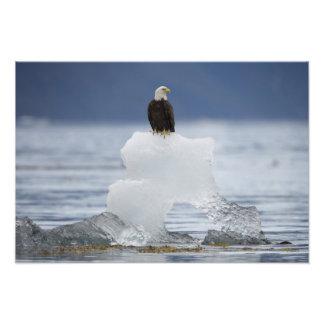 EUA, Alaska, baía de Holkham, águia americana Foto Artes