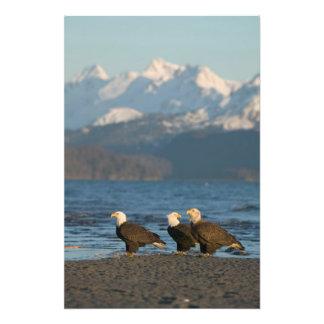 EUA Alaska local Haliaeetus das águias american Impressão De Foto