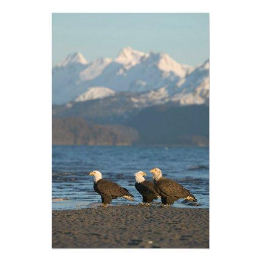 EUA, Alaska, local, Haliaeetus das águias american Impressão De Foto